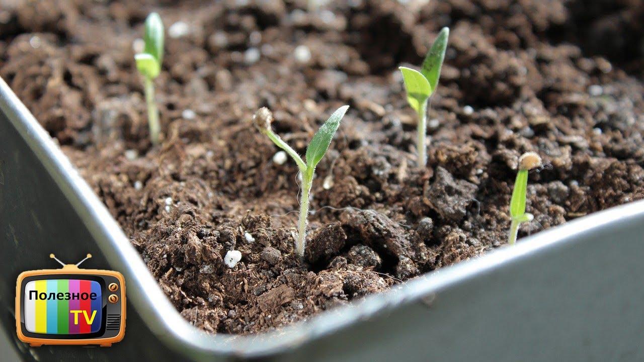 не всходят семена укропа