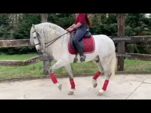 QUIETO 2012 , PRE - Andalusian Stallion , High School  And Liberty  Trained , March 2020 Video