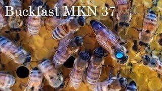 Buckfast MKN 37