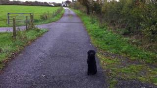 Gun Dog Training - Recall Work
