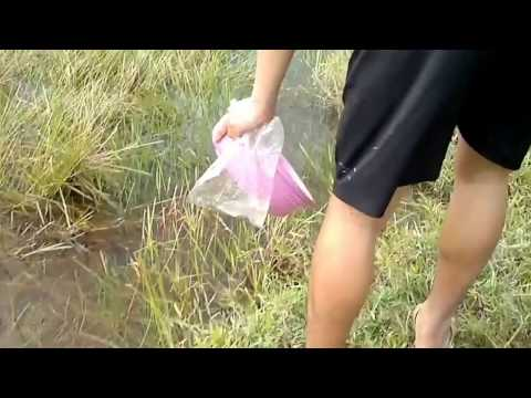 Mantap! Tangkap Ikan Cupang Liar / Wild Betta Imbelis