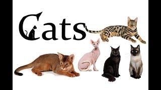 Cat Breeds. Maine Coon,Sphynx,Siberian,Siamese,Bengal,Angora,American Bobtail,Persian,...
