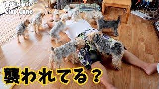 【ヨークシャーテリア専門犬舎チャオカーネ】 のんびりいこうよ! #ヨー...