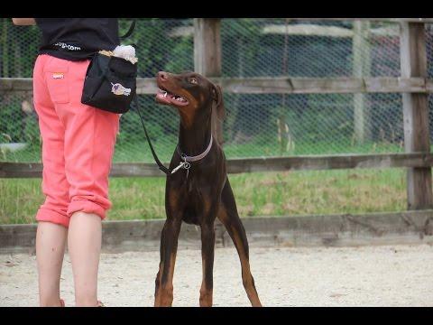 Sophie - Doberman - 3 Weeks Residential Dog Training