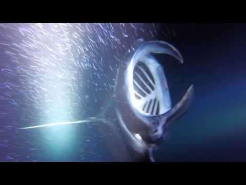 hawaii-manta-ray-swimming-big-island