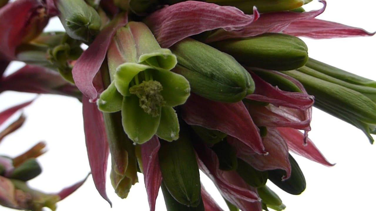 Mexican Lily Beschorneria Yuccoides Jukka Plmalilja