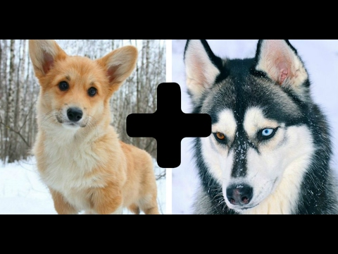 10 Amazing Cross Dog Breeds - Mixed Dogs