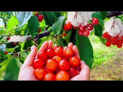 World's Most Expensive Cherry - Amazing Japan Agriculture Technology Farm #30