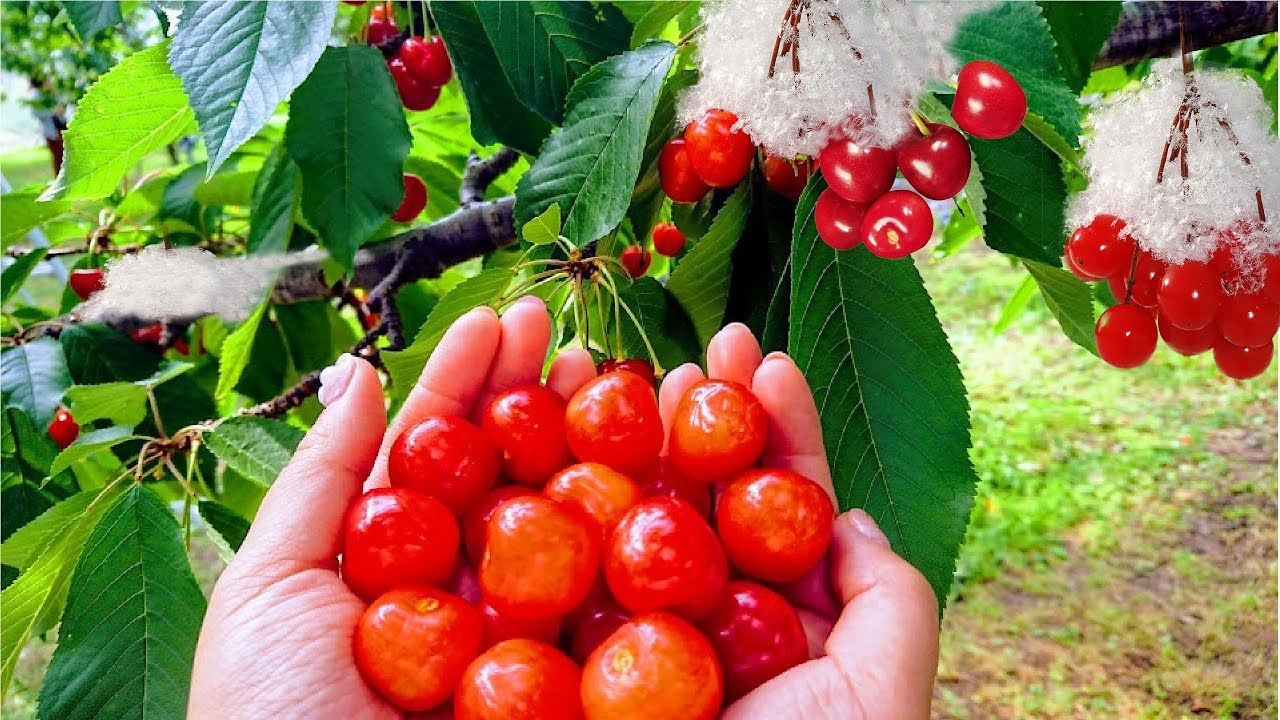 World's Most Expensive Cherry - Amazing Japan Agriculture Technology Farm -  Best Cherry Harvest - YouTube