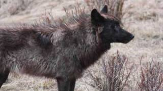 Lane Navachi-Lunascape wolves