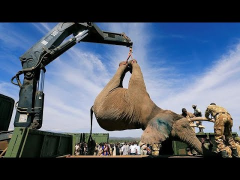Elephants tranquilised and 'relocated' after destroying crops