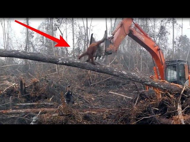 Orangutan Melawan AlatBerat Di Hutan Kalimantan Jadi Sorotan Dunia, TakDisangka Berahkir Seperti....