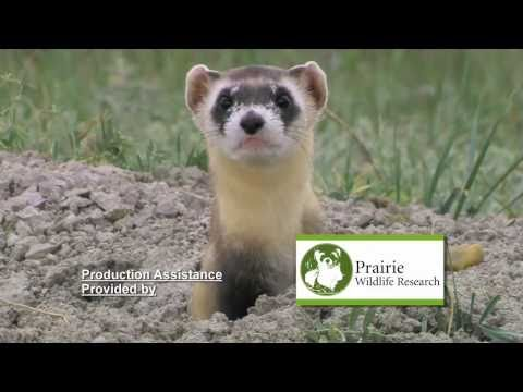 Black-footed Ferret vs. Prairie Dog
