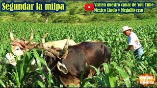 Asi se SEGUNDA la Milpa 🌽 en los cerros de la Mixteca con la yunta 🐂