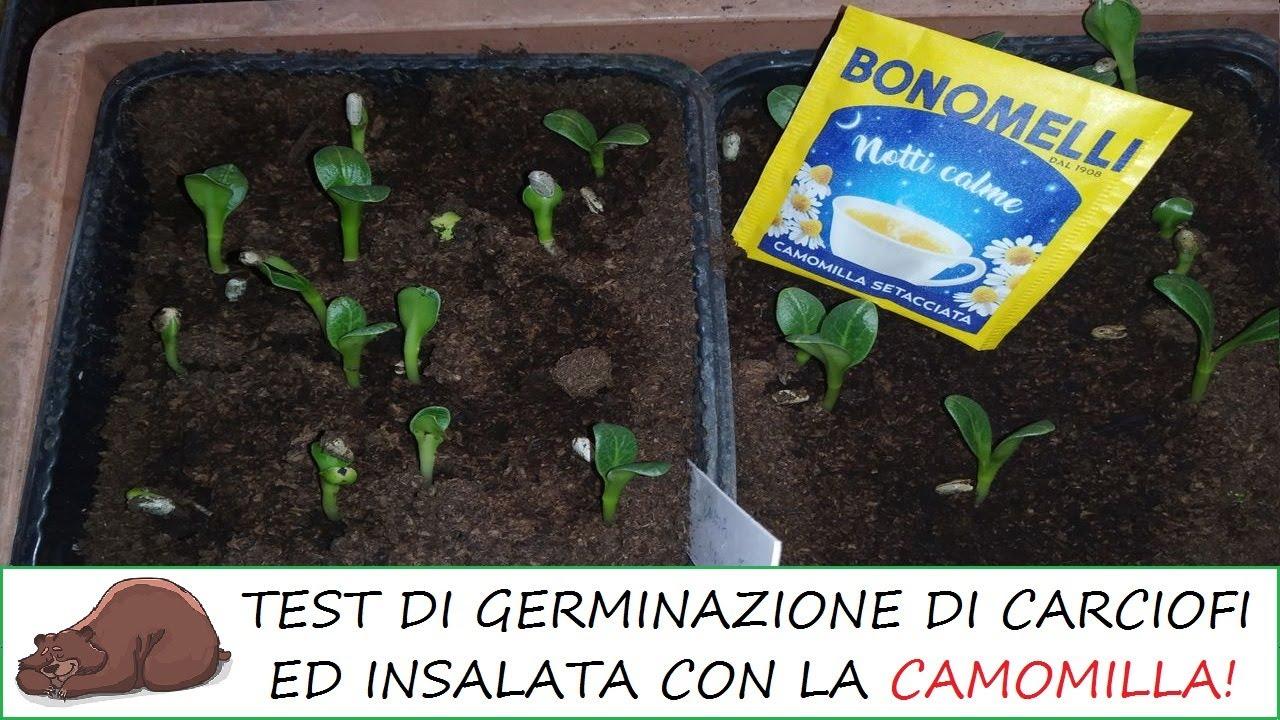 La camomilla per la germinazione dei semi serve davvero? Test su insalata e carciofi!