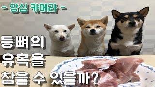 주인이 음식을 두고 자리를 비우면, 강아지가 참을 수 있을까요? / 시바견미쓰리 / 시바견쯔카유 / 양심카메라