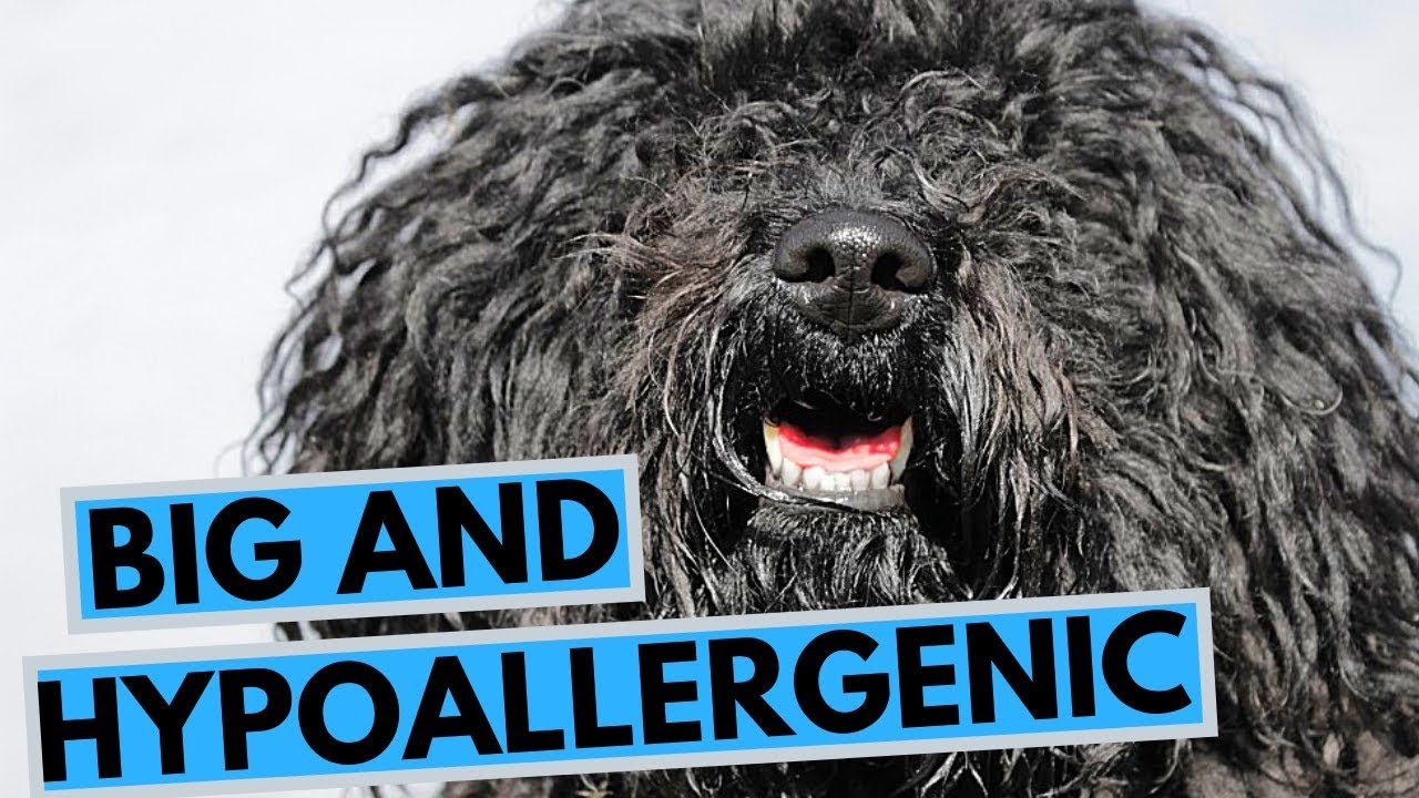 Large Hypoallergenic Dog Breeds List