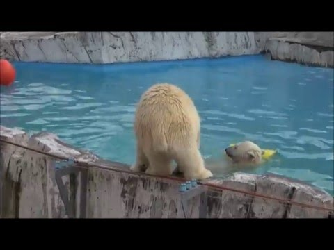 The polar bear twin cubs play in the water, on a summer day, at Sapporo Maruyama Zoo, Japan