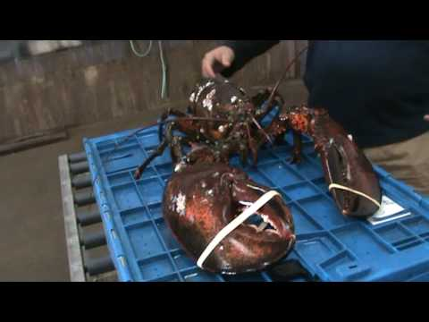how to catch lobster freediving