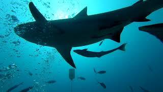 Scuba Diving w/ Bull Sharks