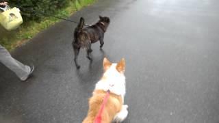 散歩中のボーダーコリーシャンクス。甲斐犬のさきちゃんと戯れながら歩...