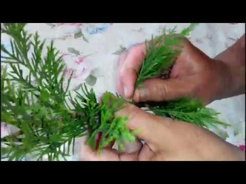 Как размножить можжевельник черенками в домашних условиях