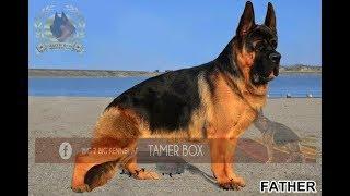 حقيقة الكلب الراعي الصيني مع تامر بوكس CHINESE SHEPHERD ...MACE BULK !!!!