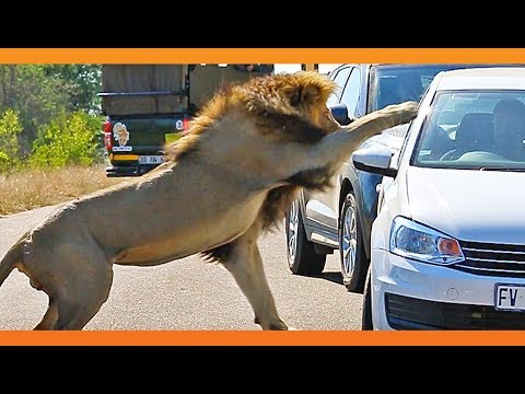 Lion Quickly Attacks Car!