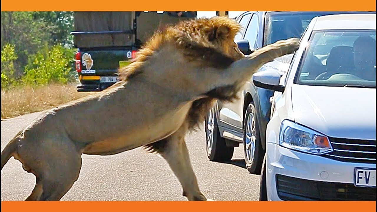 6f25b1aa Lion Shows Tourist Why Windows Should be Closed!