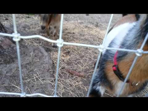 Milking Goats 2 Petting