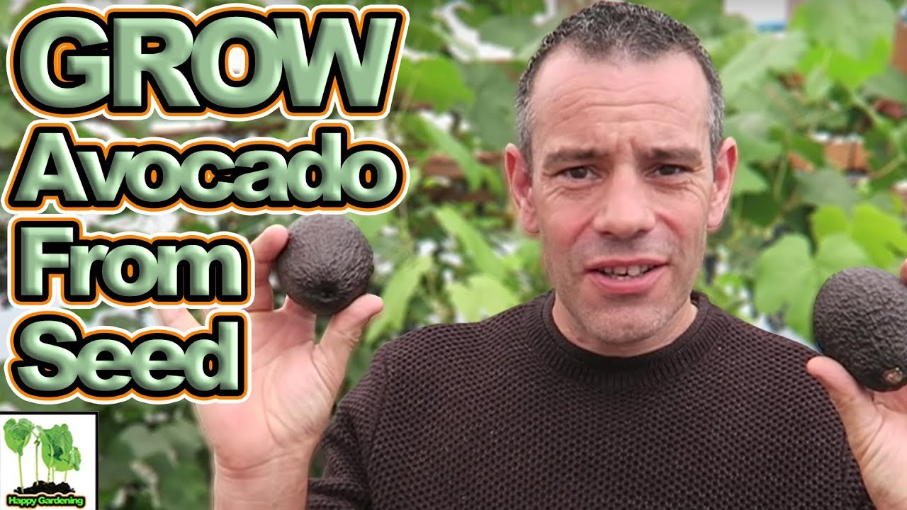 How To Grow An Avocado Tree From Seed Easy And Fast Youtube