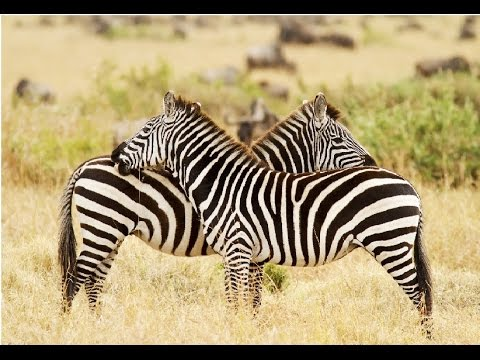 Amazing Facts About Zebras - YouTube