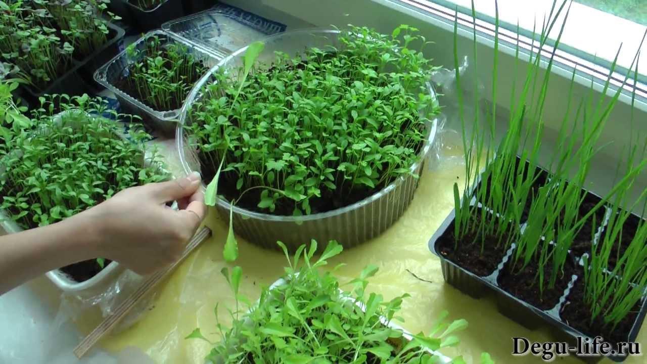 Выращивание кинзы в открытом грунте и в домашних условиях + .