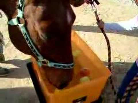 Triple D Ranch Horses Bobbing for Apples