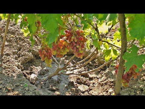 Выращивание винограда, выбираем сорта винограда, начинающим