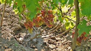 Выращивание винограда, выбираем сорта винограда, начинающим(Выращивание винограда начинается с выбора сорта винограда, его приобретения и посадки. Как выбирать новые..., 2015-08-12T19:24:45.000Z)