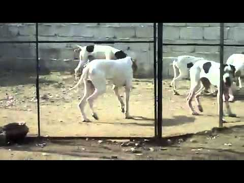 Pointer Dog For Sale in Pakistan in Pakistan Pointer Dog