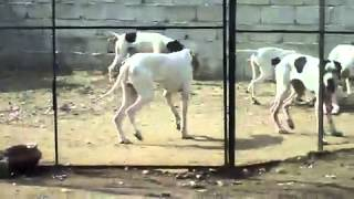 My farm house in Pakistan(Pointer Dog)