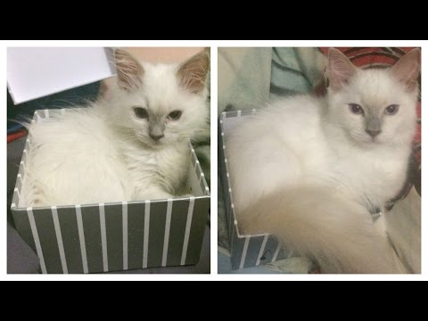Cute Cat Compilation 2016 | Watch Ragdoll Kenzie Grow Up! | Those Fluffy Cats