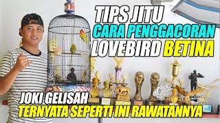 Download lagu CARA PROSES PENGGACORAN LOVEBIRD BETINA || TERNYATA SEPERTI INI RAWATANNYA || JOKI GELISAH - ARKHASF