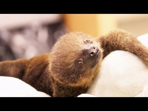 Tiny Newborn Sloth Gets Hand-Reared After Siblings Die On Mom's Watch