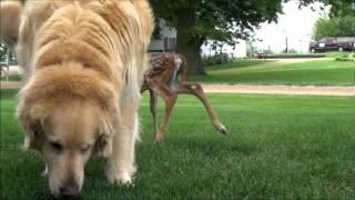 Baby Deer Follows Golden Retriever Home.