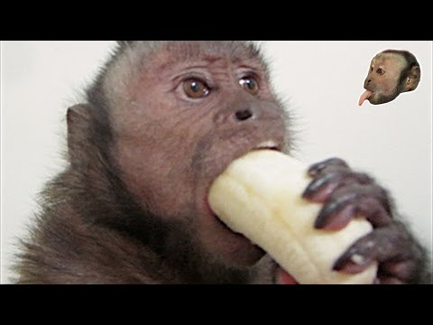 Capuchin Monkey & Mushy Banana