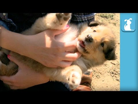 Cutest Collie Puppy Ever Gets Snuggled - Puppy Love