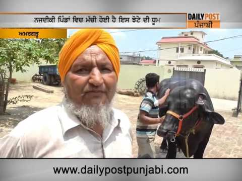 This Special buffalo is worth RS. 1 Crore | Daily Post Punjabi