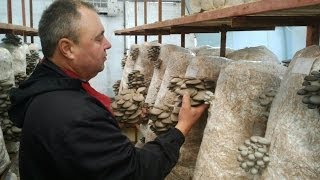 Снятие грибов вешенки с блока (how To Collect Mushrooms From The Block)