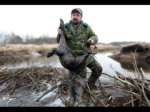 Бобр  30 кг попал в капкан ( Bridger)/the Beaver Was Caught In A Trap