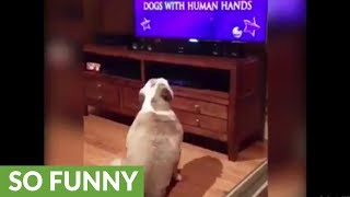 Bulldog recognizes sibling on TV, has priceless reaction