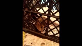 В сарае мышь застряла