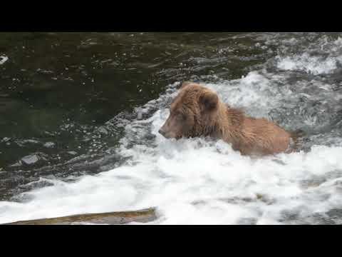 Brown Bears Salmon Fishing in Cooper Landing, Alaska